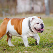 English bulldog outdoors — Stock Photo #69934977