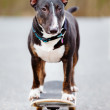 English bull terrier dog on a skateboard — Stock Photo #69935043