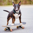 English bull terrier dog on a skateboard — Stock Photo #69935075