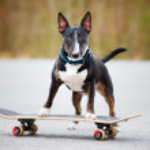 English bull terrier dog on a skateboard — Stock Photo #69935077