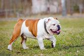 English bulldog outdoors — Stock Photo
