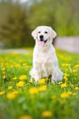 Golden retriever pies pole polny — Zdjęcie stockowe