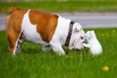English bulldog meets kitten — Stock Photo