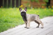 French bulldog puppy standing outdoors — Stockfoto