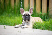 French bulldog puppy resting outdoors — Stock Photo