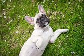 French bulldog puppy lying on grass — Fotografia Stock