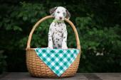 Rozkošný dalmatské štěně — Stock fotografie