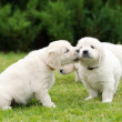 Two adorable puppies kissing — Stock Photo #76702899