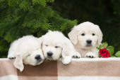 Adorable golden retriever puppies outdoors — Stock Photo
