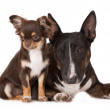 Постер, плакат: English miniature bull terrier and chihuahua dogs