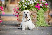 Gele labrador hond buiten in zomer — Stockfoto
