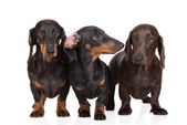 Trzy psy jamnik na — Zdjęcie stockowe