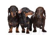 Trois chiens teckel sur — Photo