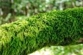 Moss growing on  fallen tree trunk — Stock Photo