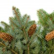 Spruce branches with cones — Stock Photo #54920829