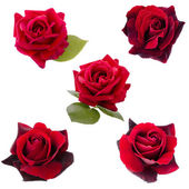 Collage of five dark red  roses — Stock Photo