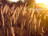 Spikelets of grass brightly lit by the setting sun — Stock Photo