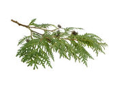 Cypress branch isolated on white background — Stock Photo
