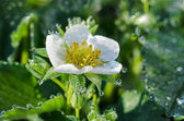 Strawberry flower with dew drops — Stock Photo