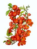 Blossoming quince branch — Stock Photo