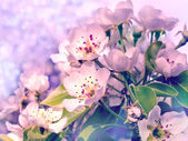Flowering branch of pear — Stock Photo