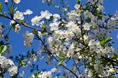 Flowering cherry branch in the garden — Stock Photo