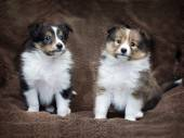 Couple cute sheltie puppies — Stock Photo