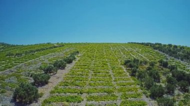 Primosten Vineyards, UNESCO World Heritage site — Stock Video