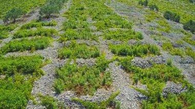 Primosten Vineyards flyover — Stock Video