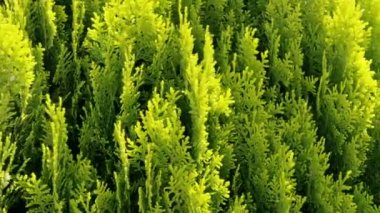Thuja - ornamental tree — Stock Video