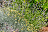 Herbs Lavander and Immortelle — Stock Photo
