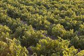 Mediterranean vineyards at sunset in Crete. Greece — Stock Photo