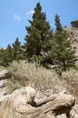 Death trunk at Imbros Gorge. Crete. Greece — Stock Photo