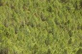 Pine tree skogslandskap i Spanien. Teruel — Stockfoto