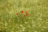 Red flowers in the countryside. Horizontal — Stock Photo