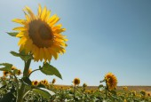Sunflower in the countryside in summertime. Spain — Stock Photo