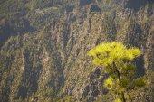 Pine tree and mountain. La Palma. Spain — Stock Photo