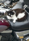 Cat in a motorbike. Vertical format — Stock Photo