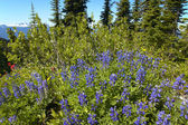Sringtime flowers in Bristish Columbia. Mount Revelstoke. Canada — Stock Photo