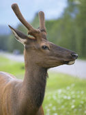 Red deer head with green background. Jasper. Canada — Stock Photo