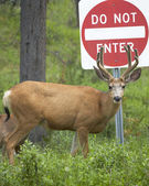 Red deer with do not enter signal. Jasper. Canada — Stock Photo