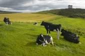 牛とのスコットランドの田舎風景。ストーンヘブン。スコットランド. — ストック写真