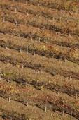 Grapevine field in autumn time. Olite, Navarra. Spain — Stock Photo