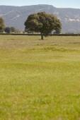 Oak holm in a mediterranean meadow landscape. Cabaneros, Spain — Stock Photo