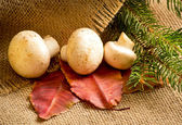 Champignon with autumn leaves and spruce branches — ストック写真