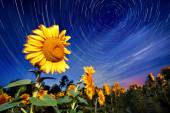 Sunflowers on night - with stars sky and startrails background — Stock Photo