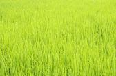 Verdant rice fields in Thailand. — Stock Photo