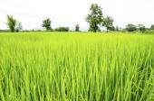 Verte rizière en thaïlande — Photo