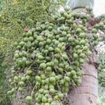 Areca nut or Areca catechu — Stock Photo #61814713