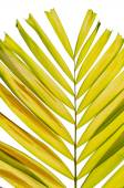 Petal palm Leaf — Stock Photo